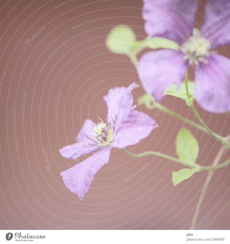 fleur Natur grün Pflanze Blume Blatt Blüte rosa elegant ästhetisch weich violett Farbe