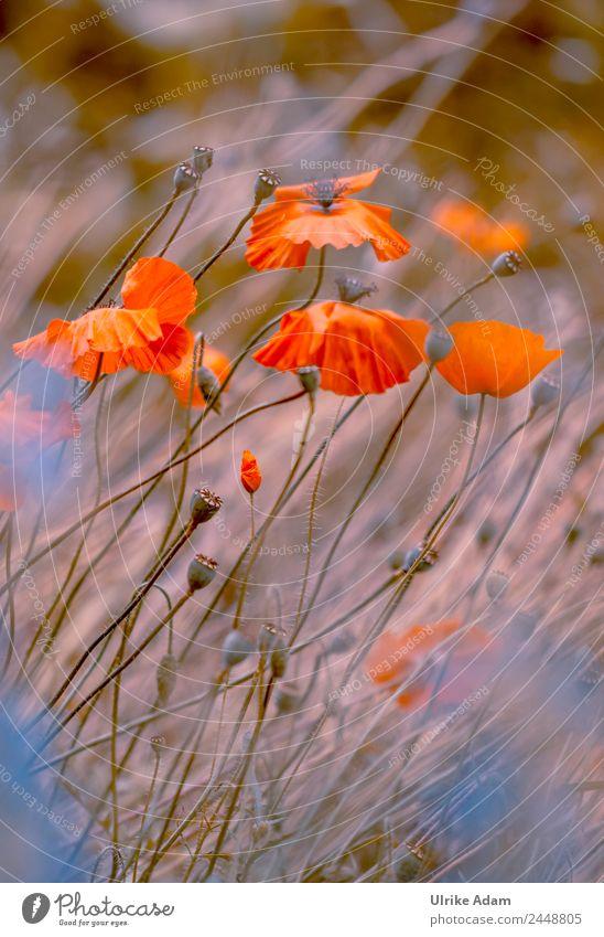 Im Mohnfeld Natur Sommer Pflanze Landschaft Blume rot Erholung ruhig Leben Innenarchitektur Liebe Blüte Feste & Feiern orange Design Zufriedenheit
