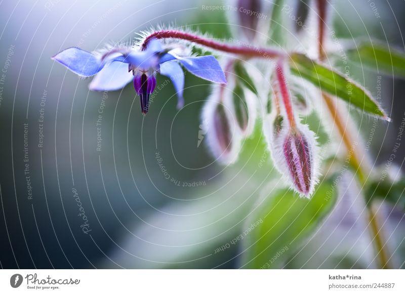 Borretsch Blüte grün blau schön rot Pflanze Blume Sommer elegant ästhetisch violett rein Duft