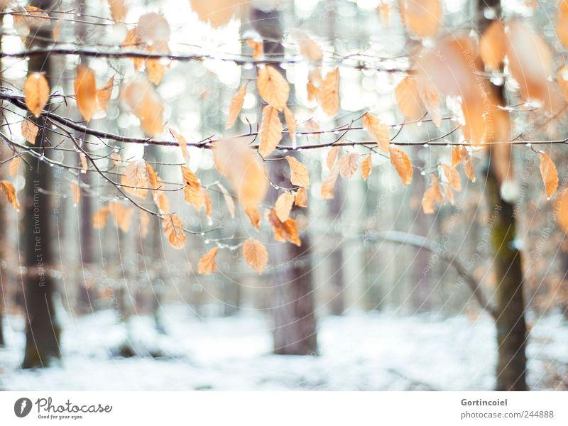 L'hiver Umwelt Natur Eis Frost Schnee Baum Blatt Wald kalt schön Winterwald Laubwald Winterstimmung Wintertag Schneedecke Farbfoto Außenaufnahme Menschenleer