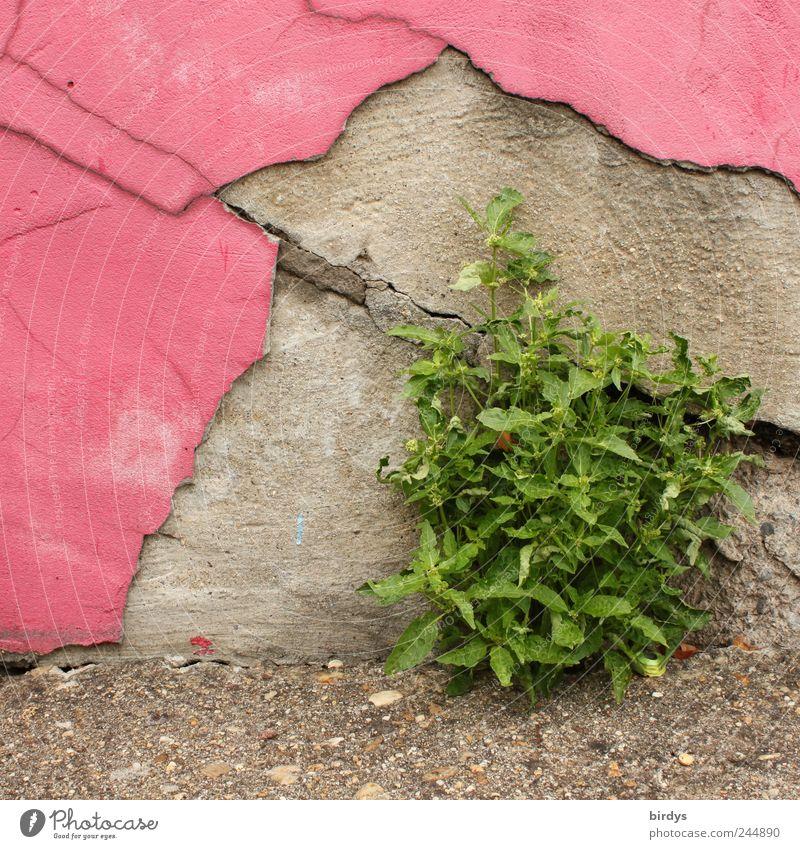 Grün trifft Pink alt grün Pflanze Sommer Wand grau Mauer rosa Wachstum Wandel & Veränderung Vergänglichkeit Verfall skurril Lebensfreude Willensstärke