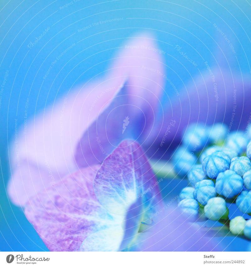 blühende Hortensie - Mut zur Farbe Hortensien Hortensienblüte Hydrangea Pastellfarben blaue Blumen blühende Blume blühende Sommerblume Zierpflanze Blütenknospen