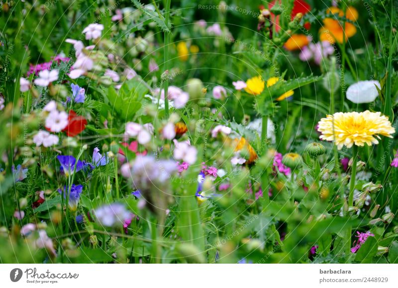 kunterbunte Sommerwiese Pflanze Blume Wiese Blumenwiese Blühend Fröhlichkeit frisch mehrfarbig grün Stimmung Freude Romantik Farbe Klima Natur Optimismus Umwelt