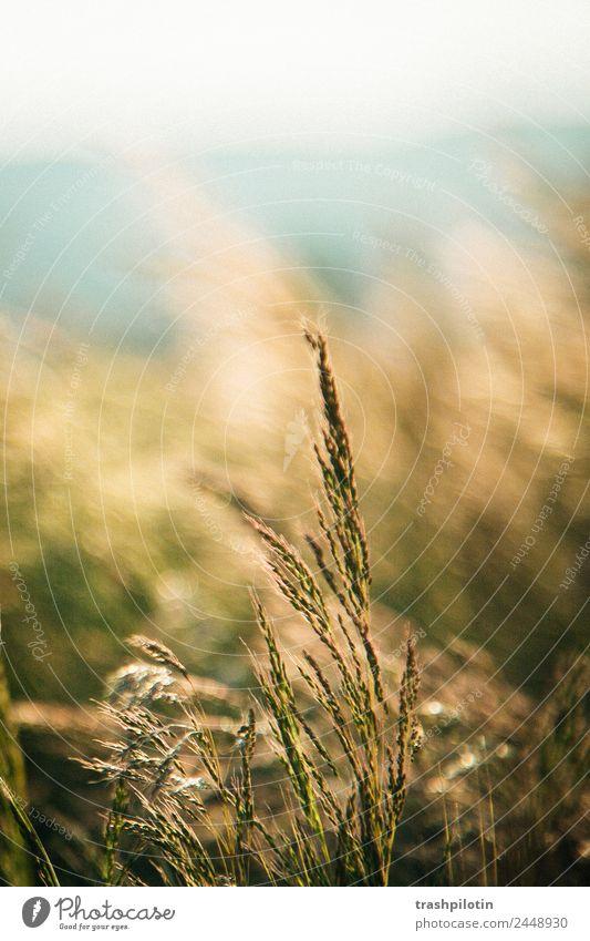 Korn Natur Landwirtschaft Sonnenuntergang Feld Landschaft Getreide Getreidefeld Kornfeld Romantik Freiheit