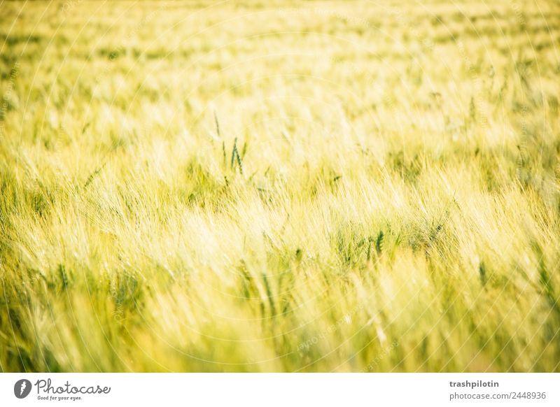 Landleben Umwelt Natur Landschaft Pflanze Sommer Schönes Wetter Gras Nutzpflanze Feld Wiese Getreide Getreidefeld Kornfeld Freiheit Naturliebe Farbfoto