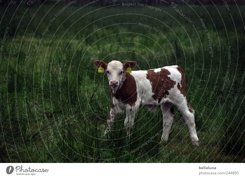 Ein Bischen Kuhl. Natur Pflanze Tier Gras Wildpflanze Wiese Feld Nutztier 1 Tierjunges stehen Kalb Weide weiß braun grün Farbfoto Gedeckte Farben mehrfarbig
