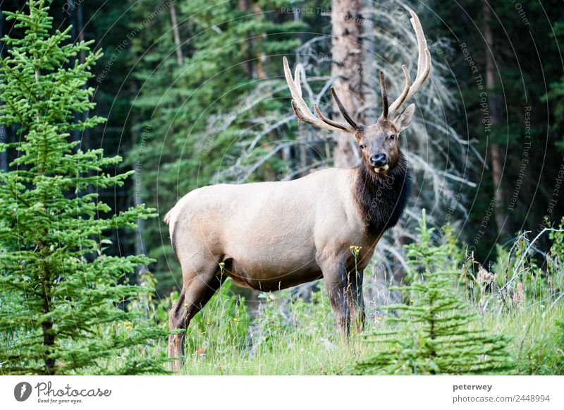 Rocky Mountain Elk, Banff National Park, Canada Sommer Natur Tier Baum Gras Blatt Wald Wildtier 1 erleben Cervus canadensis Alberta animal antlers big Kanada