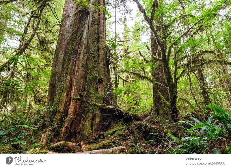 Big old trunk in rainforest on Vancouver island, Canada Natur Ferien & Urlaub & Reisen Sommer grün Baum Erholung Blatt ruhig Ferne Wald Umwelt Gefühle Gras