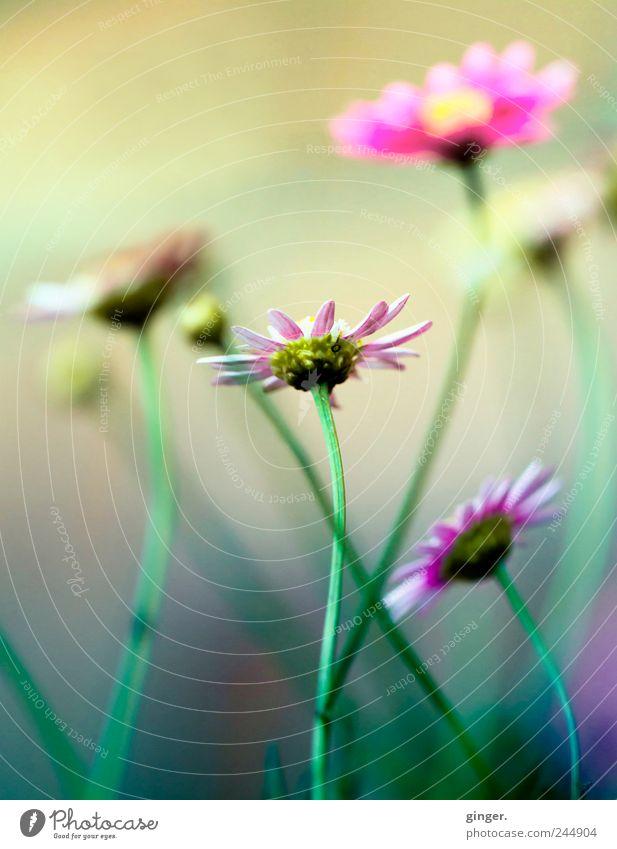Auch klein ist fein Natur grün schön Pflanze Blume Blüte Garten Umwelt rosa verrückt fantastisch Stengel Blütenknospen Stolz Präsentation Blütenblatt