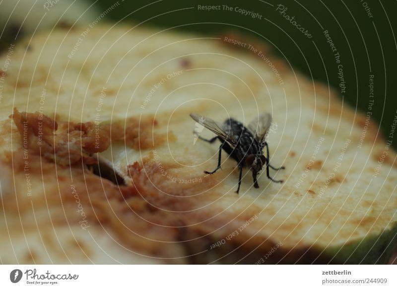 Fliege auf Apfel Lebensmittel Frucht Ernährung Tier 1 Hälfte Teile u. Stücke Insekt Hautflügler Schädlinge Farbfoto Gedeckte Farben Außenaufnahme Nahaufnahme