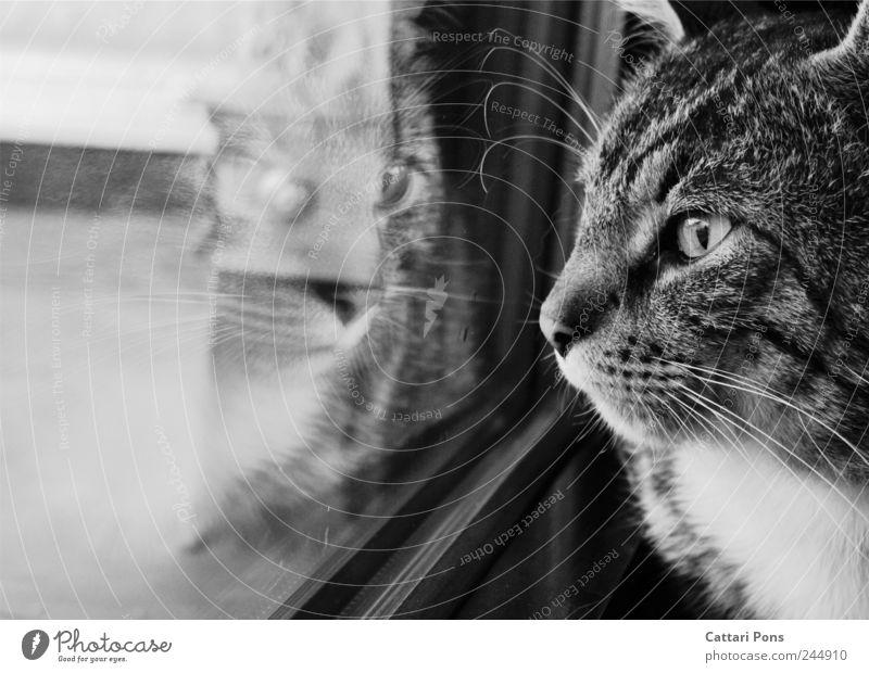 erkennst du mich? Fenster Tier Haustier Katze Hauskatze 1 beobachten einzigartig nah natürlich schön Reflexion & Spiegelung Spiegelbild Trauer Einsamkeit