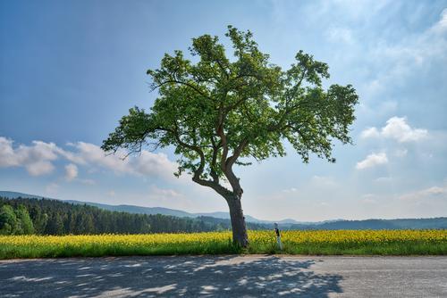Baum - Straße - Rapsfeld Lifestyle Stil Leben harmonisch Umwelt Natur Landschaft Luft Himmel Wolken Sonne Frühling Klima Schönes Wetter Autofahren Landstraße