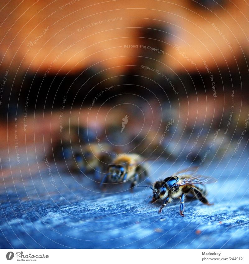other colonies 2 weiß blau schwarz Tier Auge gelb Holz grau Beine orange braun Wohnung gold fliegen natürlich