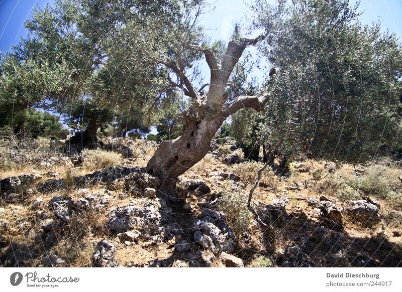 Halbglatzenbaum Natur alt grün Baum Pflanze Sommer Landschaft braun Schönes Wetter Ast Hügel Baumstamm Dürre Grünpflanze steinig