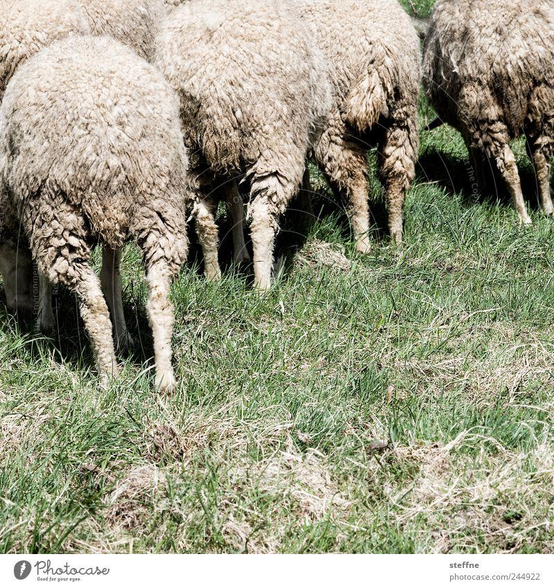 Wollknäuel Tier Wiese Tiergruppe Schaf Fressen Wolle Herde Nutztier Schafherde