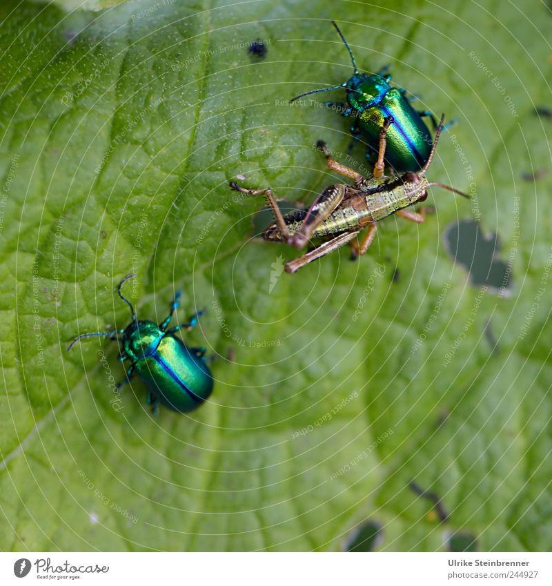 Feindliche Übernahme Natur grün Pflanze Sommer Blatt Tier Freundschaft Zusammensein glänzend Tierpaar bedrohlich festhalten berühren Wildtier Fressen Käfer