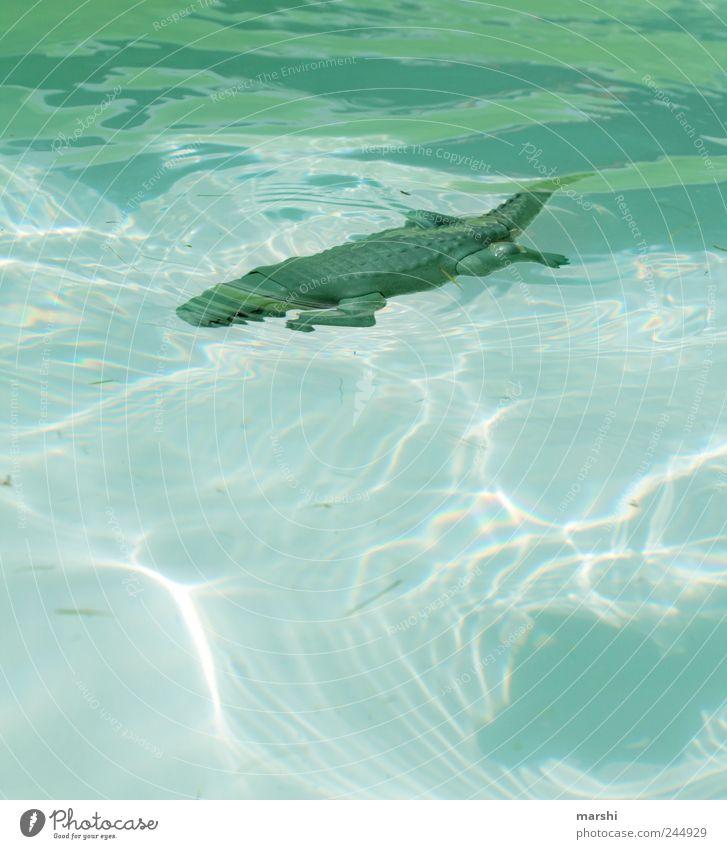 Baden verboten! Wasser grün blau Tier glänzend gefährlich Schwimmbad bedrohlich Wildtier tief Risiko Krokodil