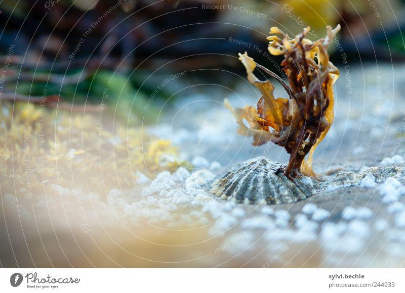 Schottland im Detail II Umwelt Natur Landschaft Sommer Pflanze Küste Riff Meer Atlantik Wachstum klein Muschel Ebbe Gezeiten Unterwasserpflanze