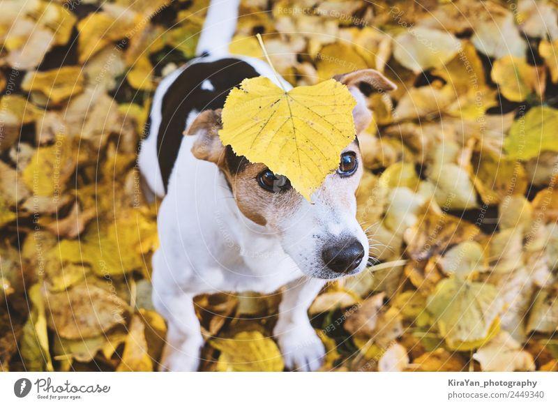 Hund im Herbstlaub sitzend mit großem gelbem Blatt am Kopf Glück Freizeit & Hobby Spielen Freundschaft Erwachsene Natur Wetter Park Wald Haustier lustig