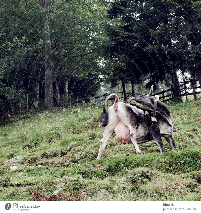 Kuh - Yoga Natur grün Sommer Tier Erholung Landschaft Wiese Bewegung Kuh Wohlgefühl beweglich Nutztier Aktion Außenaufnahme gelenkig