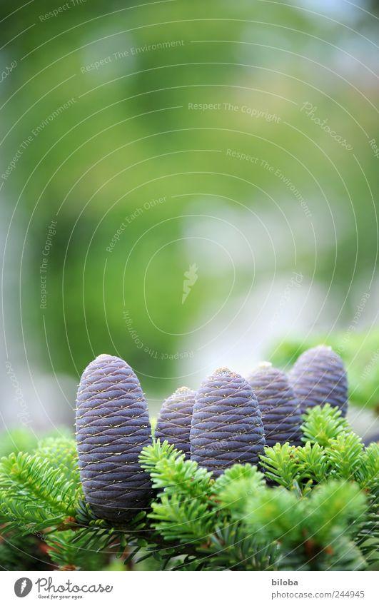 Zapfen Natur Baum grün Pflanze frisch neu violett Tanne 5 Tannenzapfen