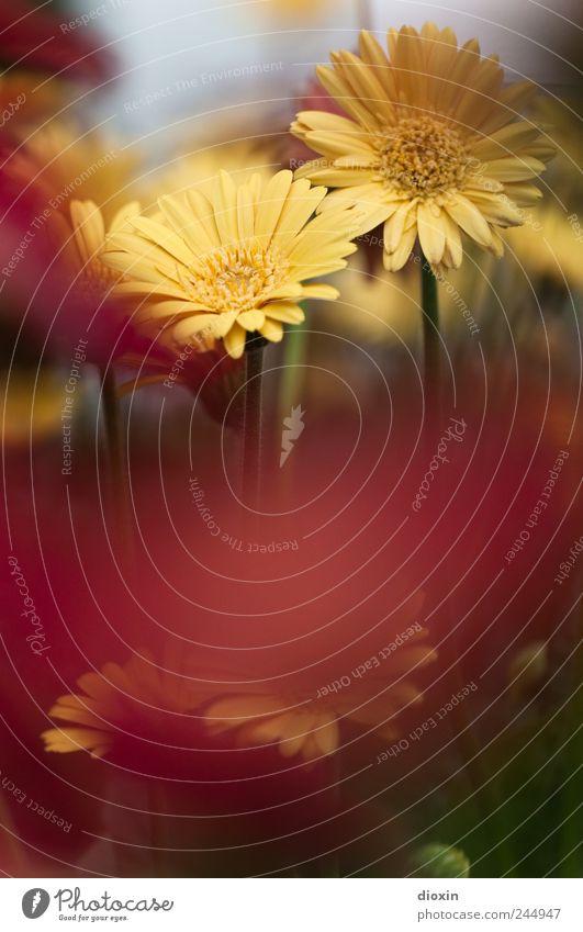 When summer's gone Umwelt Natur Pflanze Blume Blüte Garten Park Blühend Wachstum Farbfoto Außenaufnahme Menschenleer Textfreiraum unten Unschärfe