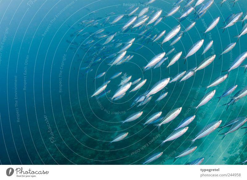 Von schräg unten blau Wasser Ferien & Urlaub & Reisen Meer Tier Bewegung Schwimmen & Baden Fisch tauchen Dynamik silber Schwarm Ägypten Riff Farbe Fischschwarm