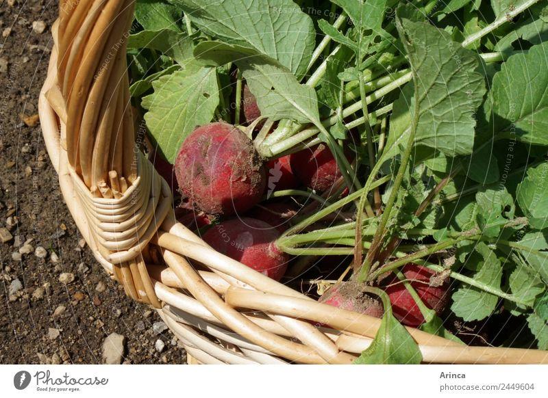 Radieschen im Korb Lebensmittel Gemüse Bioprodukte Natur Erde Essen nachhaltig rot knackig frisch Beet Sammlung Gemüsebeet Ernte Farbfoto Außenaufnahme