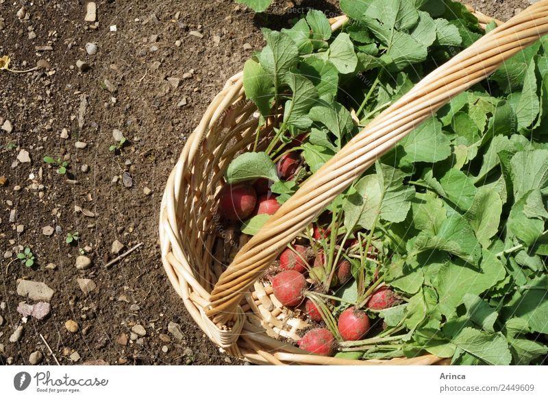 Ernte von Radieschen Lebensmittel Gemüse Natur Erde Frühling Sommer Essen rot Korb Gemüsebeet frisch Eigenanbau Bioprodukte Beet knackig Farbfoto Außenaufnahme
