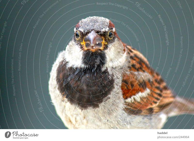 kleiner Adler-Spatz Umwelt Natur Tier Luft Himmel Wildtier Vogel 1 blau braun mehrfarbig grau schwarz weiß Schnabel Feder Gezwitscher zerzaust dick