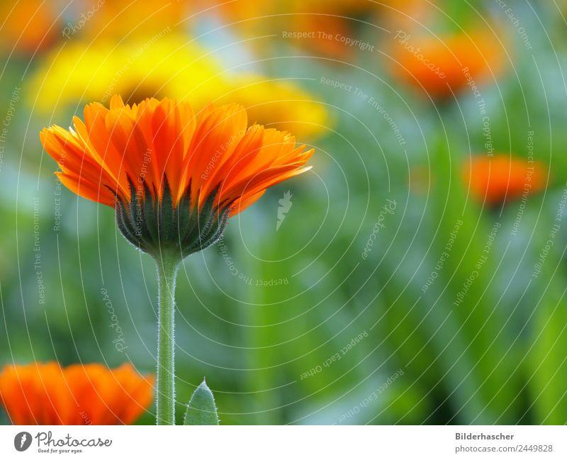 Arzneipflanze Ringelblume Gartenpflanzen Heilpflanzen Blütenstauden Blütenblatt Blumenwiese Alternativmedizin Sommerblumen Korbblütengewächs Teepflanze Kosmetik