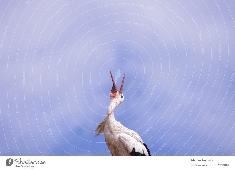 Klappern gehört zum Handwerk! Tier Vogel hören Kommunizieren sprechen Storch Adebar Klapperstorch Schnabel Kopf Weißstorch klappern Körperhaltung Glücksbringer