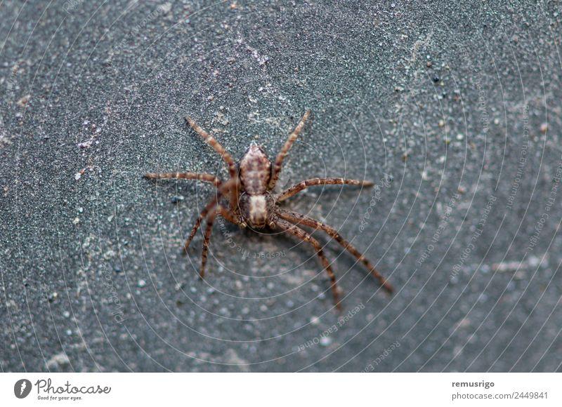 Nahaufnahme einer Spinne Garten Natur Tier Park Straße gruselig klein Angst Rumänien Valiug Spinnentier Arachnophobie botanisch Fleischfresser Insekt Raubtier