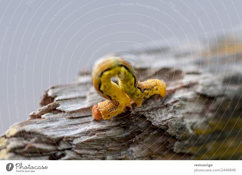 Nahaufnahme einer gelben Raupe Klettern Bergsteigen Natur Tier Stoff Schmetterling Wurm Rumänien Timisoara Rinde gebrochen Wanze krabbeln Lebewesen schleichen