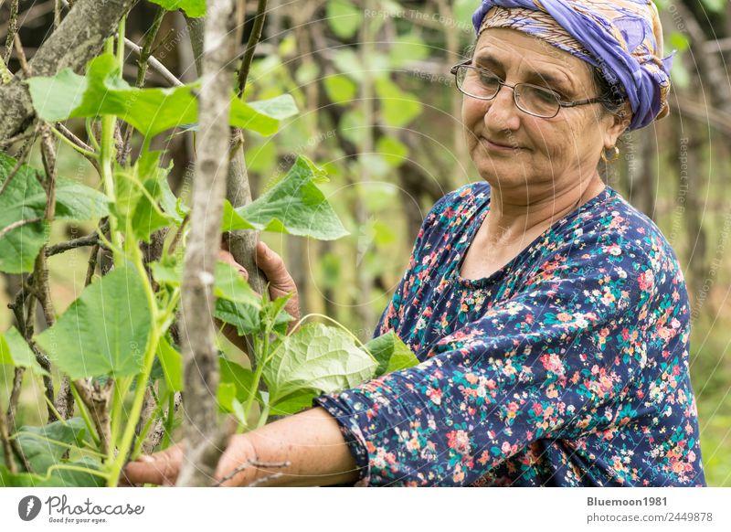 Porträt einer älteren muslimischen Frau, die Gurkenpflanzen gärtnerisch bearbeitet. Gemüse Bioprodukte Vegetarische Ernährung Lifestyle Stil Gesunde Ernährung