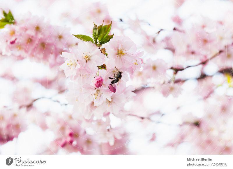 Kirschblüten Natur Sonnenlicht Frühling Schönes Wetter Pflanze Baum Blüte schön grün rosa Blütenknospen Farbfoto Außenaufnahme Nahaufnahme Tag