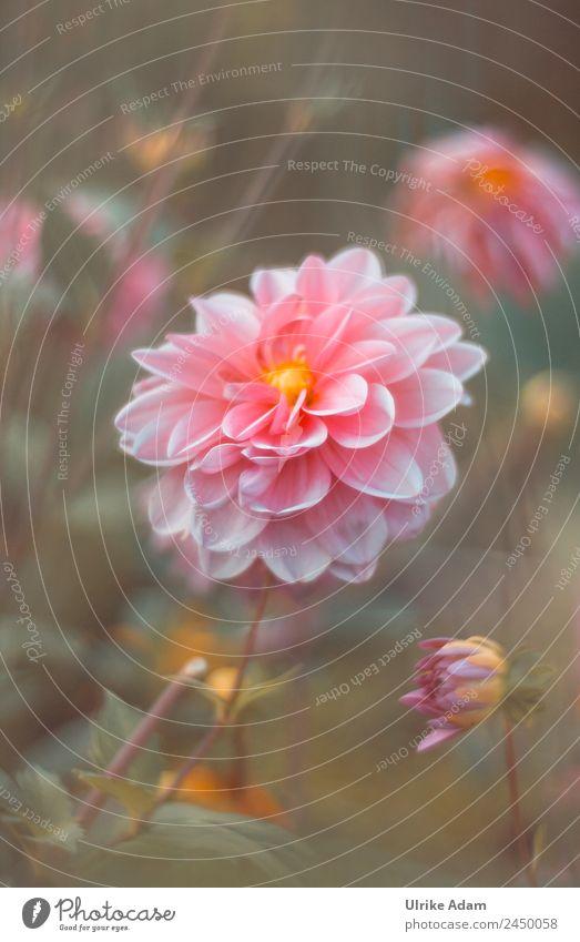 Blütenzauber - Die Dahlie Natur Sommer Pflanze schön Blume Erholung ruhig Leben Herbst Garten außergewöhnlich Feste & Feiern orange rosa Zufriedenheit