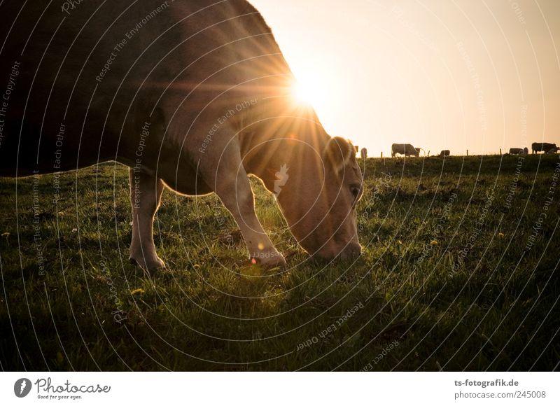Abendmahl Himmel Natur grün Pflanze Sonne Sommer Tier Umwelt Wiese Gras Horizont braun Schönes Wetter Weide Kuh Fressen
