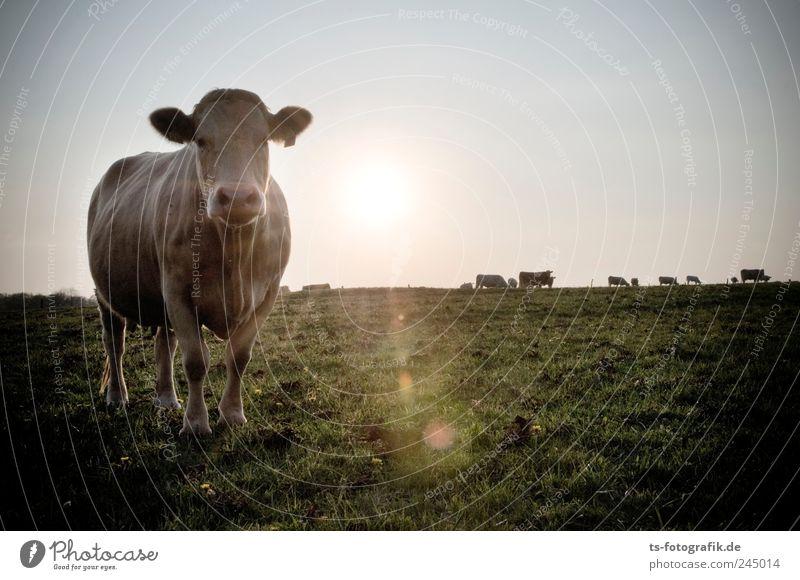 kuhler Sonnenuntergang Natur grün Sonne Sommer Tier Umwelt Wiese Landschaft Gras Luft Horizont braun Feld Tiergruppe Urelemente Neugier