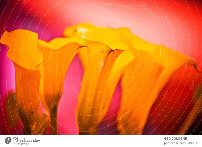 Blüten-Backofen Natur Pflanze Blume exotisch frisch schön natürlich Wärme gelb gold rot bizarr Vergänglichkeit Farbfoto mehrfarbig Außenaufnahme Nahaufnahme