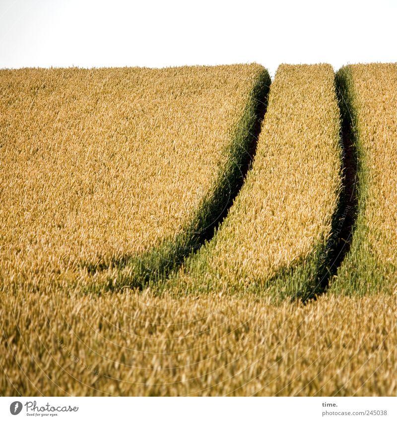 Es gibt Arbeit Getreide Sommer Landwirtschaft Forstwirtschaft Horizont Feld Hügel Wege & Pfade gelb grün Kornfeld Spuren Ähren Schwung Kurve Schneise Weizen