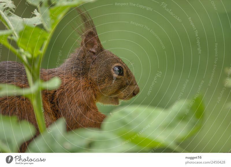 Eichhörnchen III Umwelt Natur Tier Frühling Sommer Herbst Klima Schönes Wetter Pflanze Sträucher Grünpflanze Garten Park Wiese Wald Wildtier Tiergesicht Fell