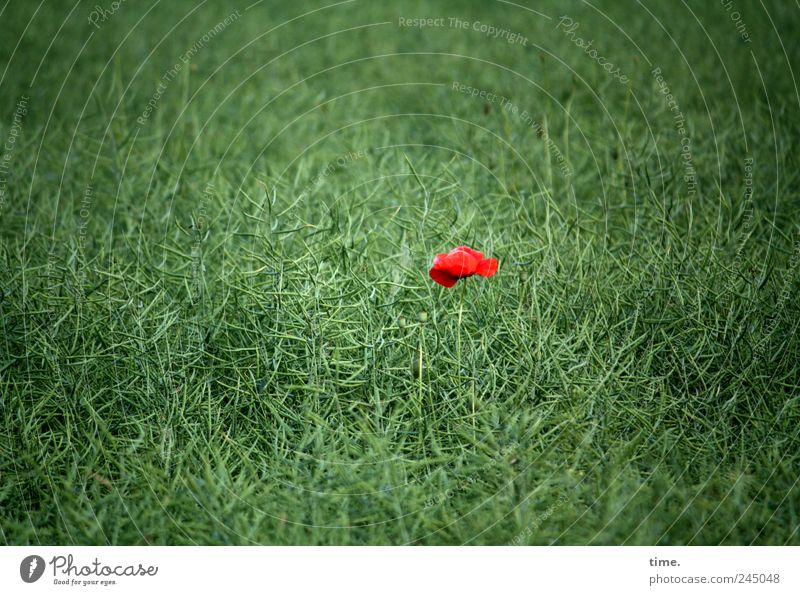 Alleinstellungsmerkmal 1 Mensch Pflanze Blume Feld leuchten saftig grün rot Einsamkeit Farbe Mittelpunkt Mohn einzeln Fleck Farbfleck grasgrün Mohnblüte