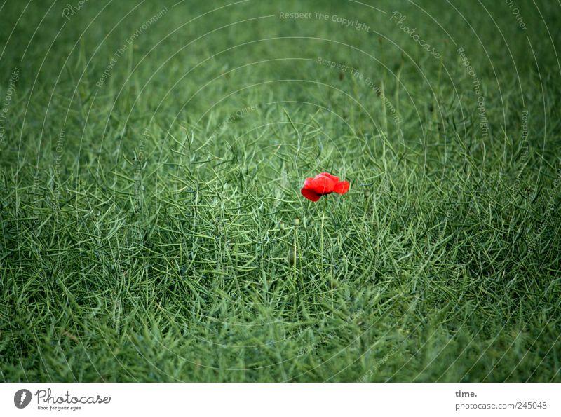 Alleinstellungsmerkmal Mensch grün rot Pflanze Blume Einsamkeit Farbe Feld leuchten Mohn Fleck verloren einzeln Blütenknospen saftig Farbfleck
