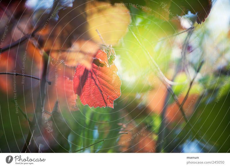 shining Natur Herbst Baum Blatt herbstlich Frühlingsfarbe Herbstfärbung Herbstbeginn Haselnussblatt leuchten authentisch außergewöhnlich fantastisch natürlich