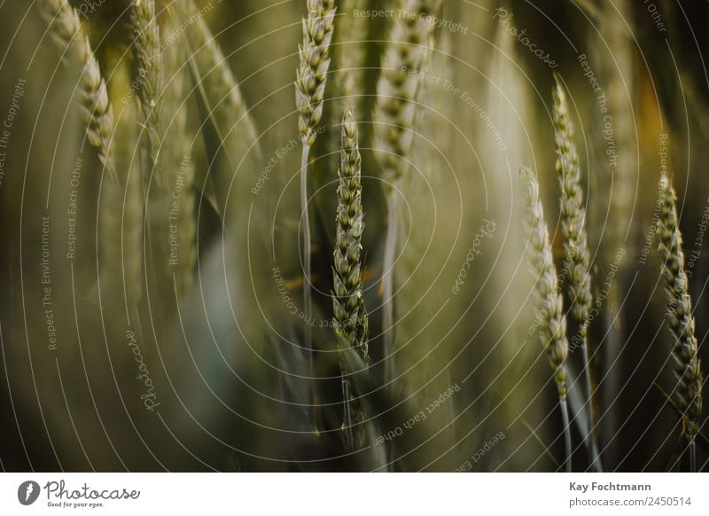 Weizenähren im Abendlicht Natur Sommer Pflanze grün Landschaft Wärme Umwelt natürlich Ausflug Ernährung Feld Wachstum frisch authentisch Schönes Wetter