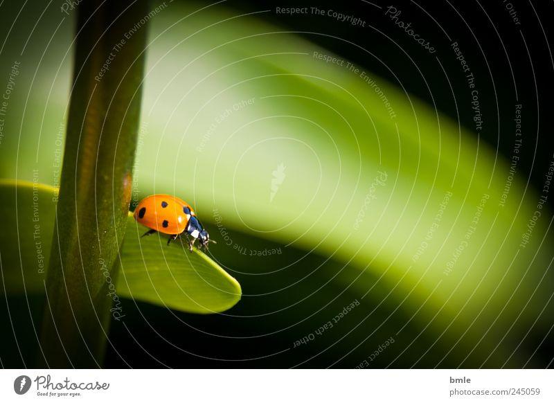 Marienkäfer Natur Tier Sommer Blatt Käfer grün rot Farbfoto Außenaufnahme Nahaufnahme Tag Schatten Kontrast Schwache Tiefenschärfe