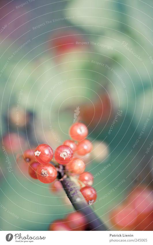 Saure Früchtchen [3] Natur grün rot Pflanze Sommer Umwelt Ernährung Lebensmittel Frühling Garten Zufriedenheit Kraft Frucht ästhetisch Sträucher rein