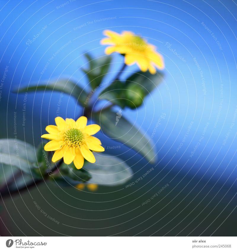 zwei00 Natur Pflanze Sommer Blume Blatt Blüte Topfpflanze blau gelb 2 Farbfoto mehrfarbig Außenaufnahme Nahaufnahme Makroaufnahme Menschenleer