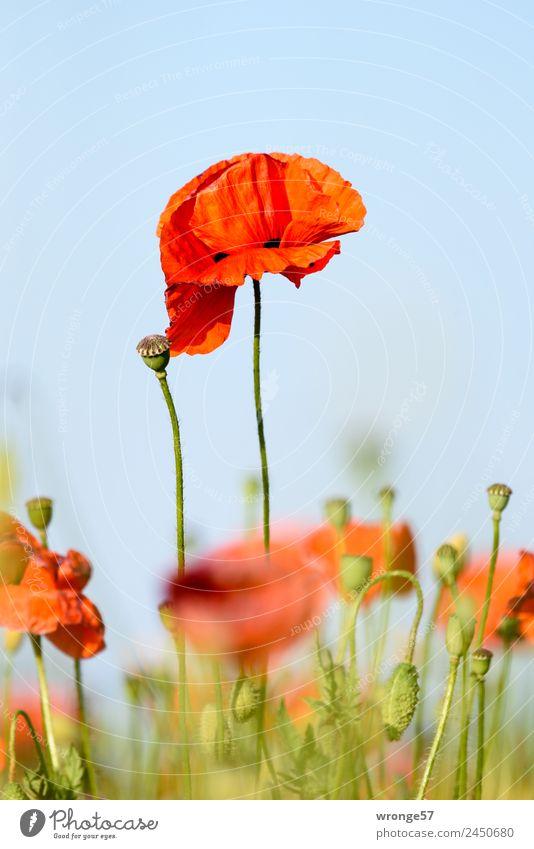 Blühender Mohn Sommer Pflanze blau grün rot Blüte Wiese Feld Schönes Wetter sommerlich Nutzpflanze Hochformat Mohnfeld Mohnblüte